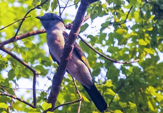 cuckoo-roller-avifauna