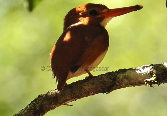 pygmy-kingfisher