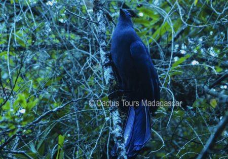 bluecoua-madagascar