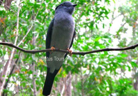 cuckoo-roller-madagascar-birding