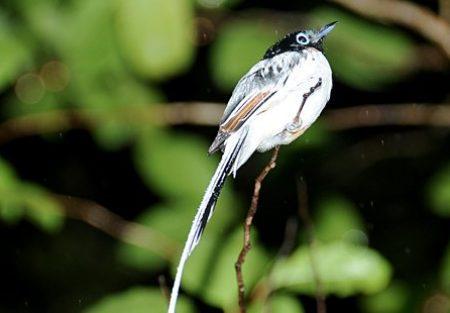 flycatcher-black-top-1