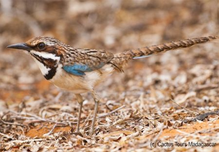 longtailed-ground-roller-cactustours
