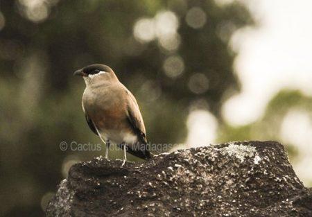 madagascar-pranticole-birding