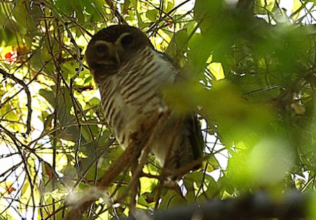 owl-white-browed