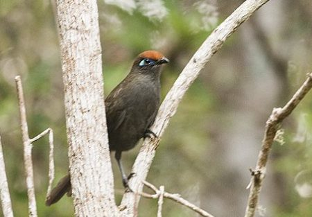 red-fronted-coua
