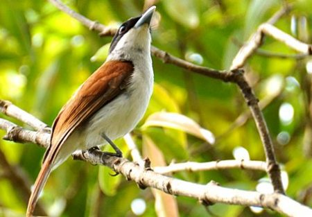 Ruffous Vanga - Birds of Madagascar