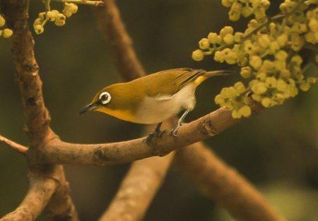 white-eyed-bird-madagascar